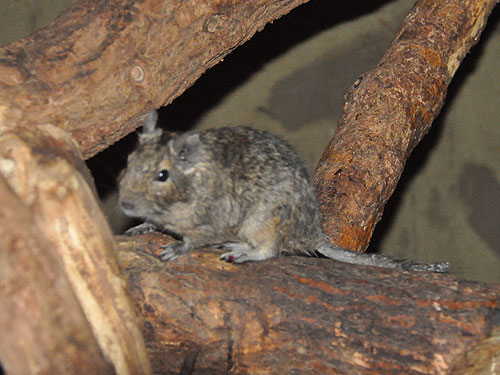 photo Degu / <span class='cursive'>Octodon degus</span>