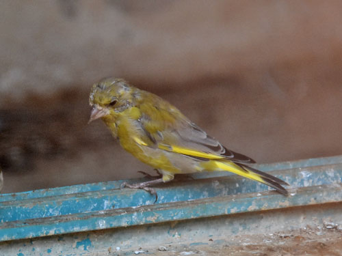 Levant greenfinch