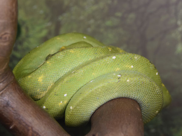 Green tree python / Morelia viridis<br> Total: 73