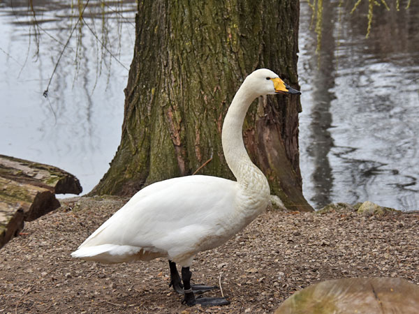 photo Cygnus cygnus cygnus / Whooper swan