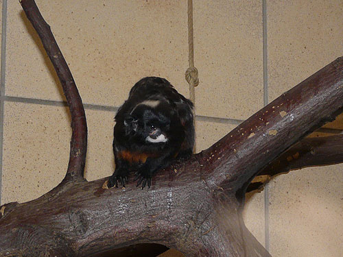 photo White-lipped tamarin / <span class='cursive'>Saguinus labiatus</span>