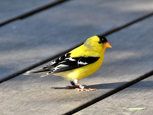 photo American goldfinch / <span class='cursive'>Spinus tristis</span>