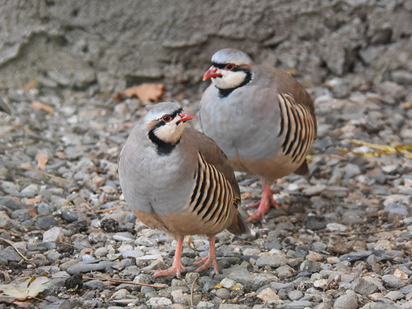 photo Chukar partridge / <span class='cursive'>Alectoris chukar</span>