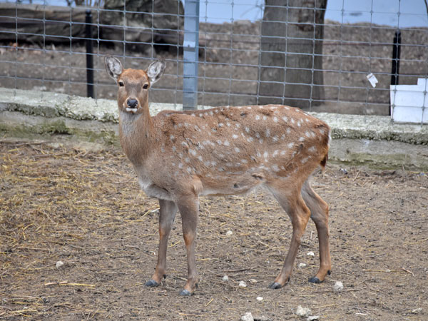 photo Ussuri sika deer / <span class='cursive'>Cervus nippon hortulorum</span>