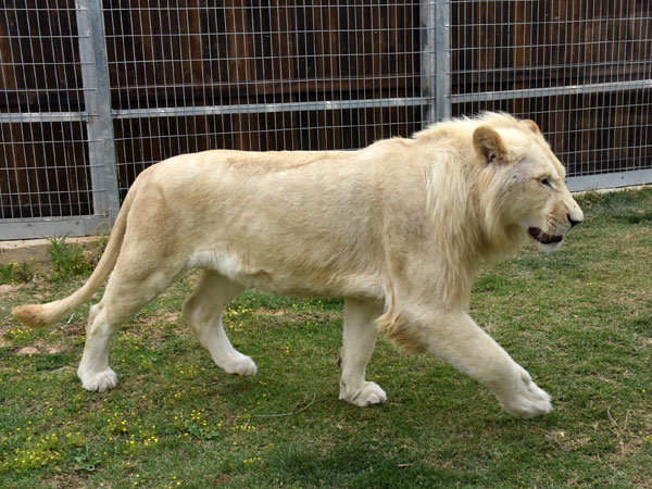photo Panthera leo / Lion