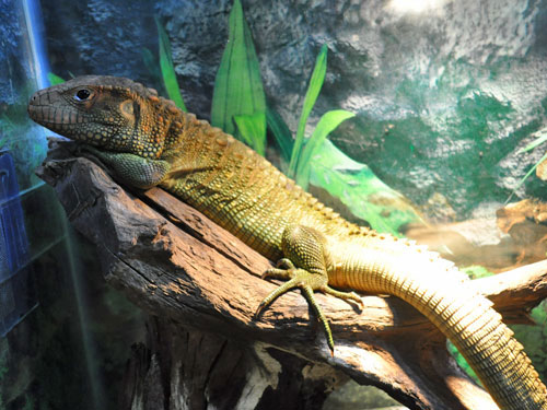 photo Caiman lizard / <span class='cursive'>Dracaena guianensis</span>