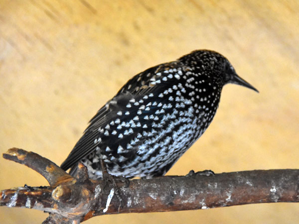 photo Starling / <span class='cursive'>Sturnus vulgaris</span>