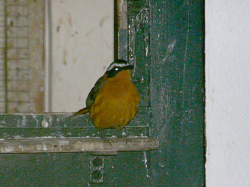 photo White-browed robin chat / <span class='cursive'>Cossypha heuglini</span>