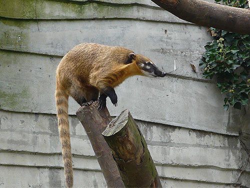 photo Brown-nosed coati / <span class='cursive'>Nasua nasua</span>