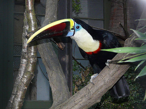 Bolivian Cuvier's toucan