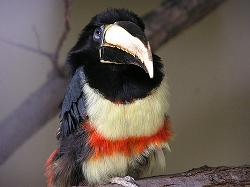 photo Black-necked aracari / <span class='cursive'>Pteroglossus aracari</span>