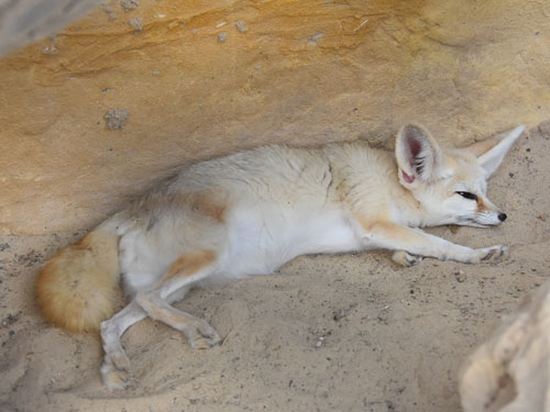 photo Fennec fox / <span class='cursive'>Vulpes zerda</span>