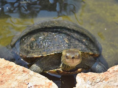 photo Western caspian turtle / <span class='cursive'>Mauremys rivulata</span>