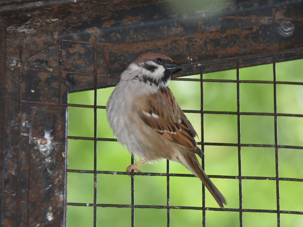 photo Tree sparrow / <span class='cursive'>Passer montanus</span>