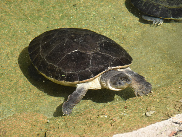 Malaysian giant pond turtle