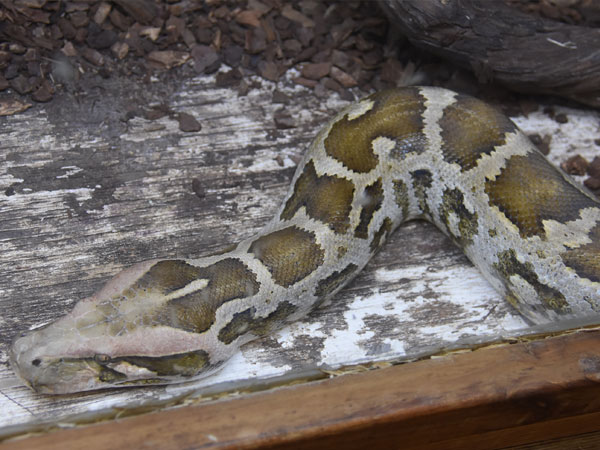 photo Sri Lankan rock python / <span class='cursive'>Python molurus pimbura</span>