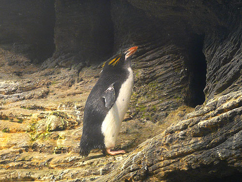 Eudyptes chrysolophus  Macaroni penguin in zoos