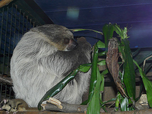 Linne's two-toed sloth