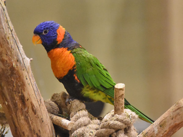 photo Red-collared lorikeet / <span class='cursive'>Trichoglossus rubritorquis</span>