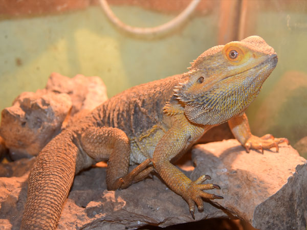 Inland bearded dragon / Pogona vitticeps<br> Total: 120