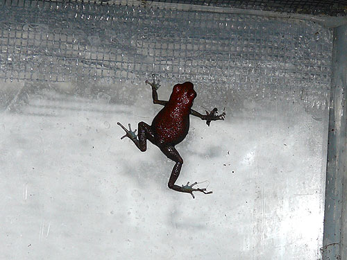 photo Oophaga pumilio / Strawberry poison dart frog