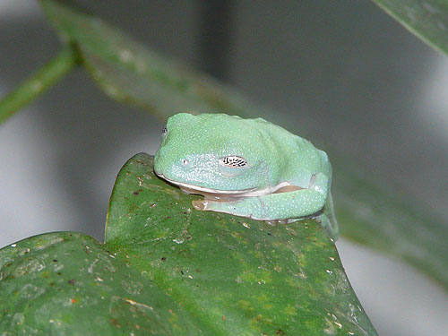 Morelet's tree frog