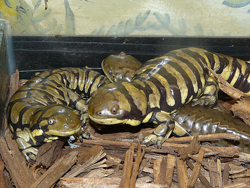 photo Barred tiger salamander / <span class='cursive'>Ambystoma mavortium</span>