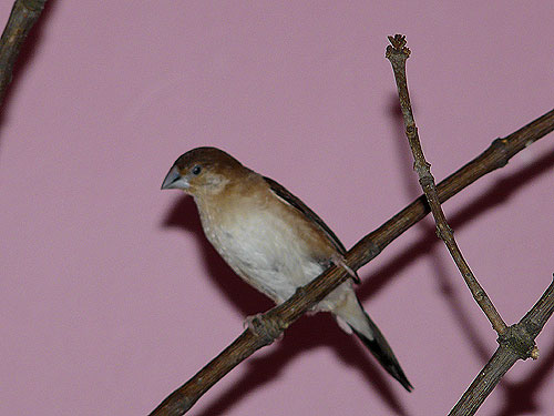 White-throated munia