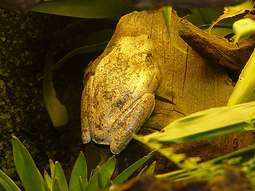 Cryptic tree frog