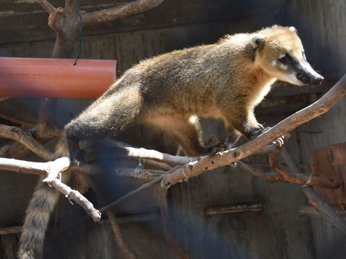 Brown-nosed coati / Nasua nasua<br> Total: 105
