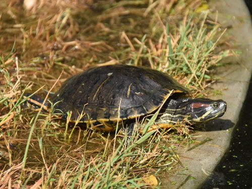 photo Red-eared slider / <span class='cursive'>Trachemys scripta elegans</span>