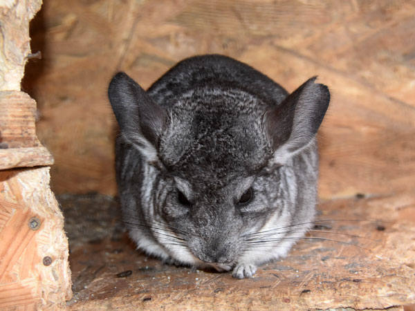 photo Chinchilla / <span class='cursive'>Chinchilla lanigera</span>