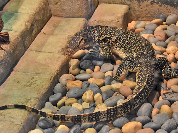 photo Malayan water monitor / <span class='cursive'>Varanus salvator</span>