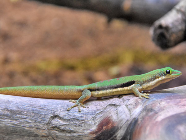 One-lined day gecko