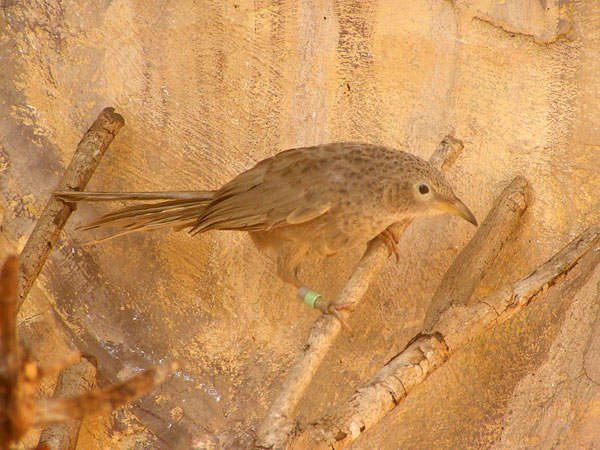 photo Arabian babbler / <span class='cursive'>Turdoides squamiceps</span>