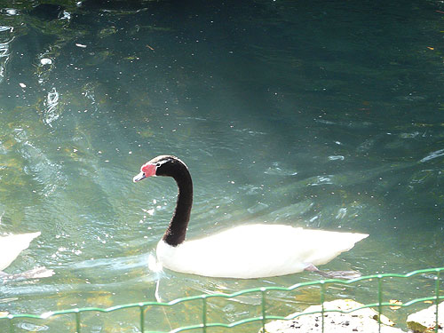 photo Black-necked swan / <span class='cursive'>Cygnus melanocoryphus</span>