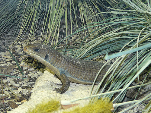 Round-nosed plated lizard