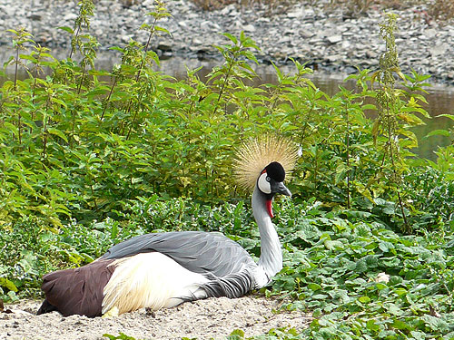 East African crowned crane