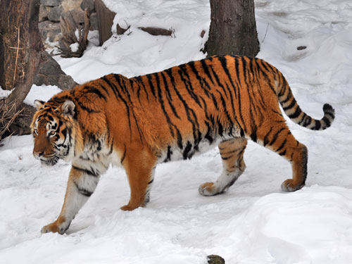 photo Panthera tigris amoyensis / Chinese tiger