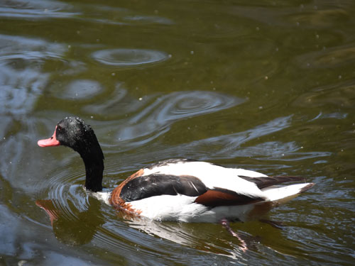 photo Common shelduck / <span class='cursive'>Tadorna tadorna</span>
