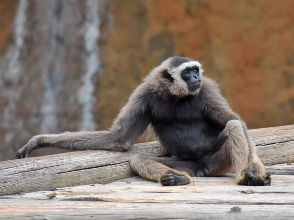 photo Grey gibbon / <span class='cursive'>Hylobates muelleri</span>