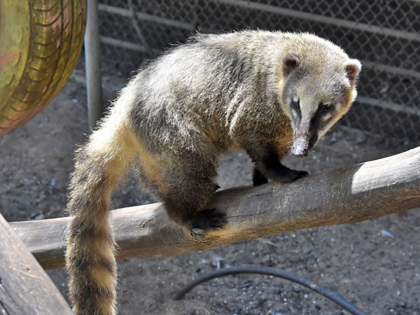Brown-nosed coati / Nasua nasua<br> Total: 120