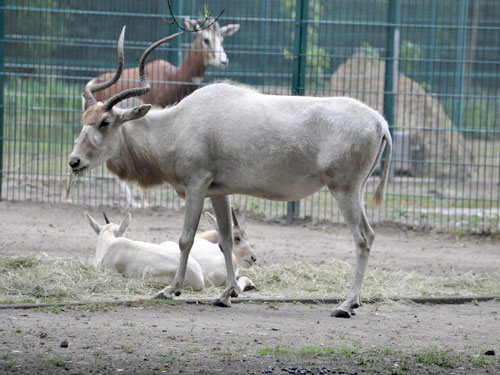 photo Addax / <span class='cursive'>Addax nasomaculatus</span>