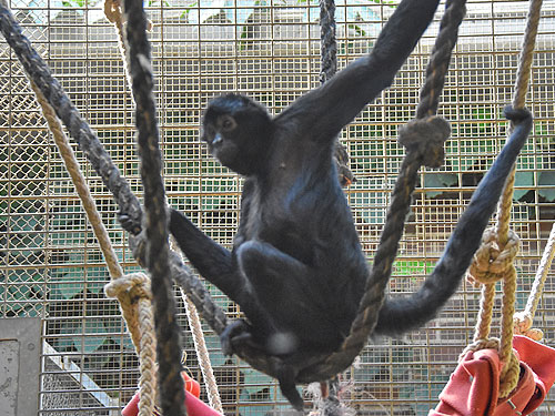 Black spider monkey