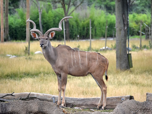 photo Greater kudu / <span class='cursive'>Tragelaphus strepsiceros</span>