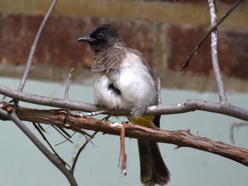 photo White-vented bulbul / <span class='cursive'>Pycnonotus barbatus</span>