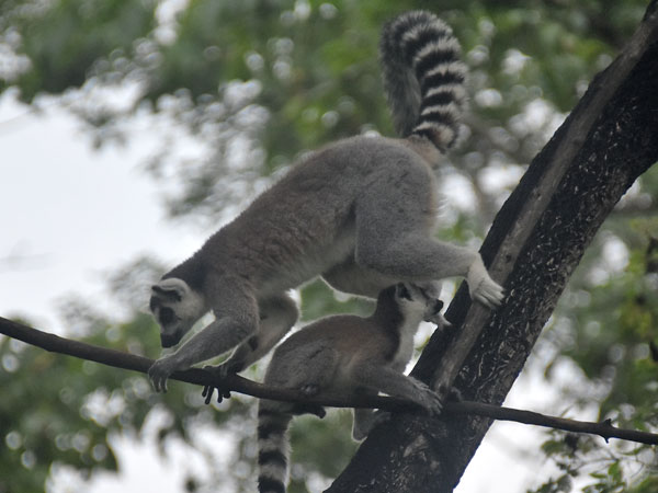 Ring-tailed lemur / Lemur catta<br> Total: 140