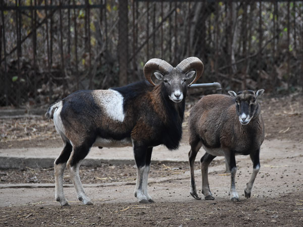 photo Mouflon / <span class='cursive'>Ovis aries musimon</span>