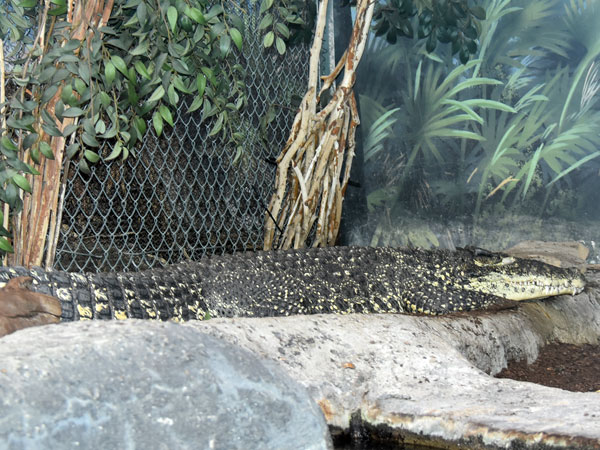 photo Cuban crocodile / <span class='cursive'>Crocodylus rhombifer</span>