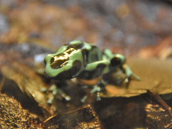 Green-and-black poison dart frog / Dendrobates auratus<br> Total: 51